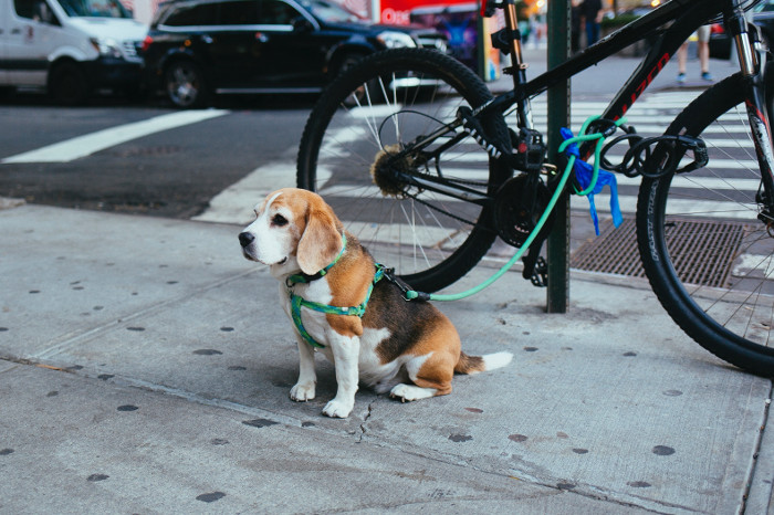 beagle with bike_OnlineJobsPlus